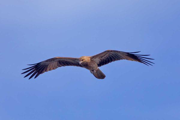 Keilschwanzweih, Whistling kite, Haliastur sphenurus - 1