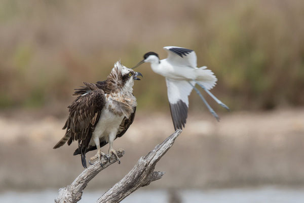 Fischadler (Pandion haliaetus) - 4