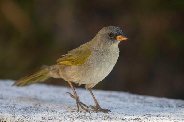 Pampaammer (Embernagra platensis)-Pampa Finch -