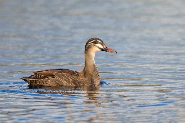 Augenbrauenente (Anas superciliosa) - Pacific black duck - 3