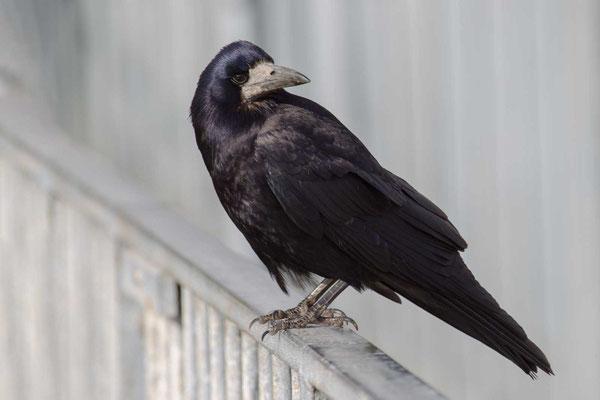 Saatkrähe (Corvus frugilegus) - 1