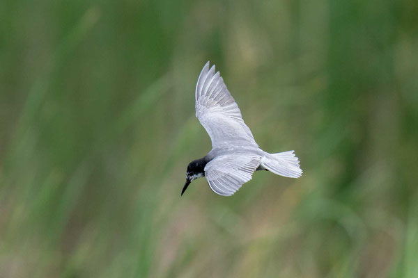 Trauerseeschwalbe (Chlidonias niger) - 2