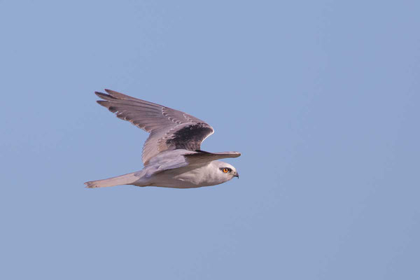Australischer Gleitaar, Black-shouldered Kite, Elanus axillaris - 6