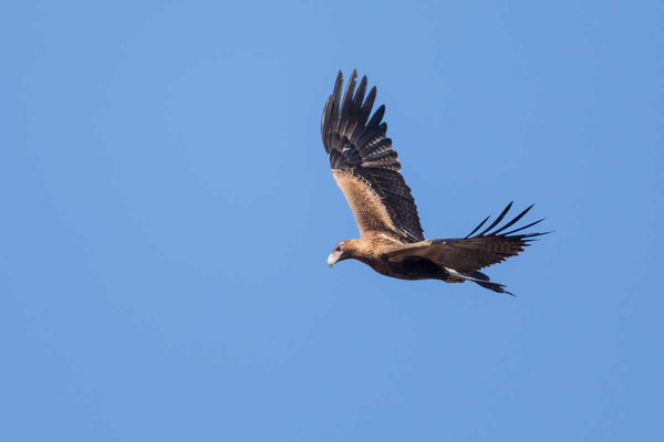 Keilschwanzadler, Wedge-tailed Eagle, Aquila audax - 2
