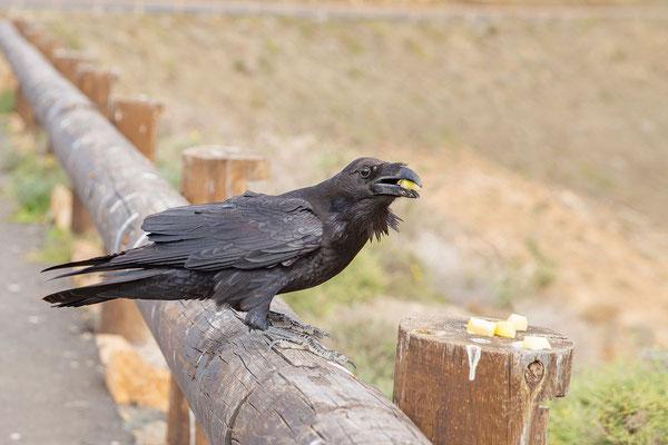 Füttern verboten, Ostkanaren-Kolkrabe (Corvus corax jordansi) im Parque Rural de Betancuria.