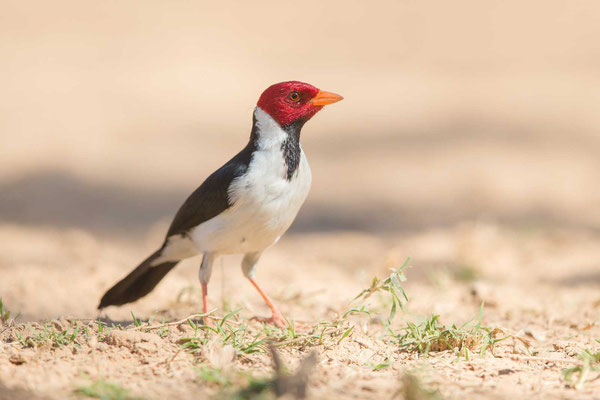Mantelkardinal (Paroaria capitata) - Yellow-billed Cardinal - 6