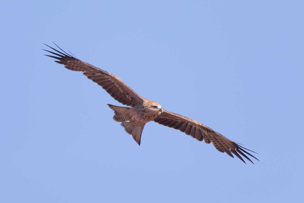 Schwarzmilan,  Black kite, Milvus migrans - 11