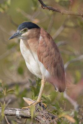 Rotrückenreiher (Nycticorax caledonicus) - Nankeen night heron - 5