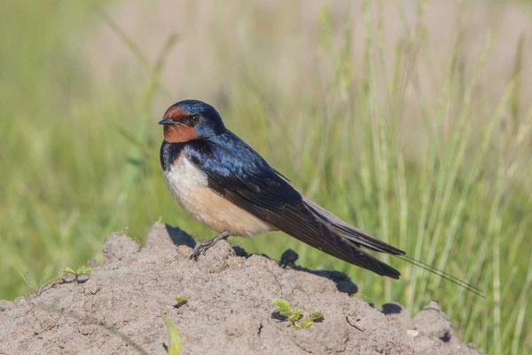 Rauchschwalbe, Hirundo rustica, Barn Swallow - 1