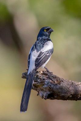 Elstertangare (Cissopis leveriana) - Magpie Tanager - 7