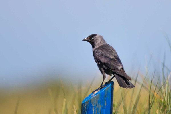 Dohle (Corvus monedula) - 1