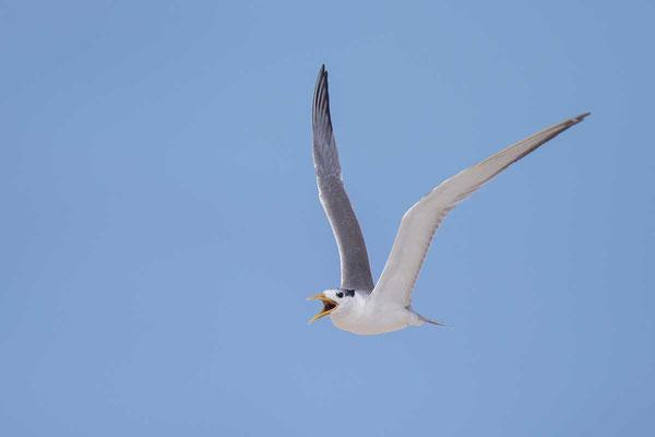 Eilseeschwalbe (Thalasseus bergii) - Greater crested tern - 6