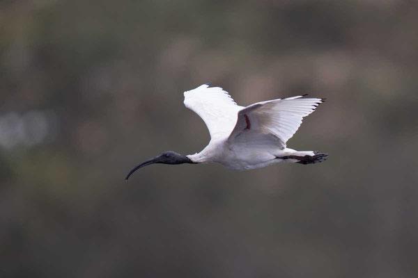 Molukkenibis (Threskiornis molucca) - Australian white ibis - 3