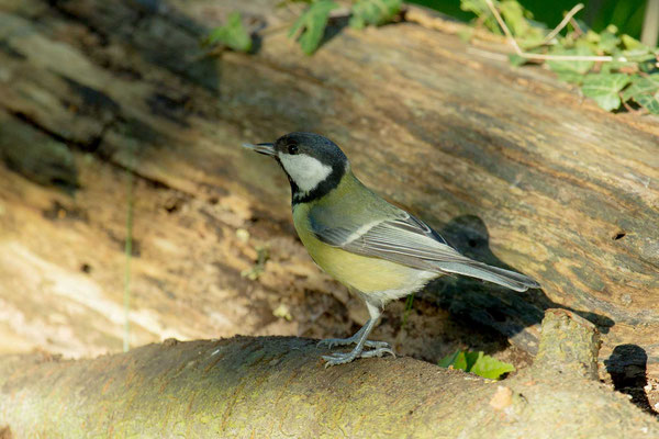 Kohlmeise (Parus major) - 5