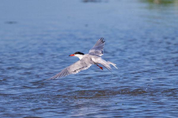 Fluss-Seeschwalbe (Sterna hirundo) - 5