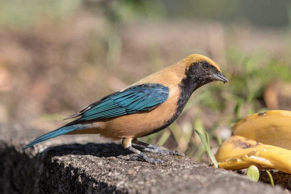 Isabelltangare (Tangara cayana) - Burnished-buff tanager - 6