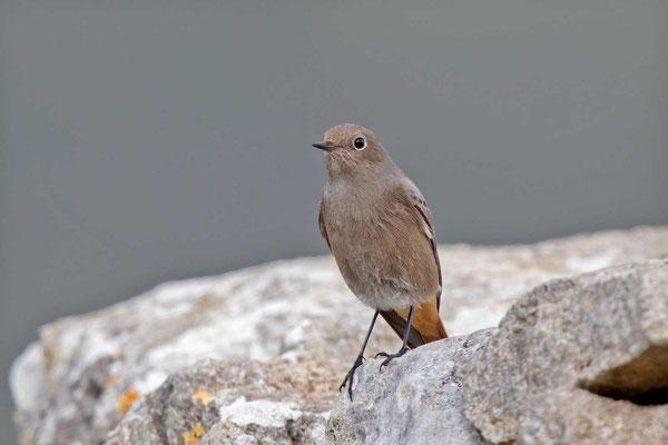 Hausrotschwanz (Phoenicurus ochruros) - Black Redstart - 5