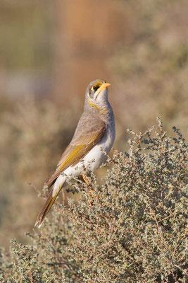 Gelbstirn-Schwatzvogel, Yellow-throated Miner, Manorina flavigula - 3