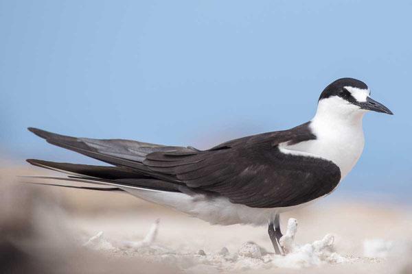 Rußseeschwalbe (Onychoprion fuscatus) - Sooty tern - 7