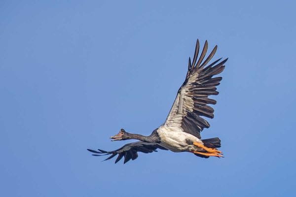 Spaltfußgans (Anseranas semipalmata) - Magpie goose - 4
