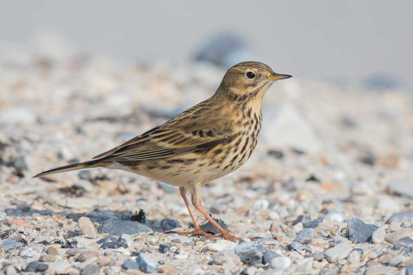 Wiesenpieper (Anthus pratensis) - Meadow Pipit - 13