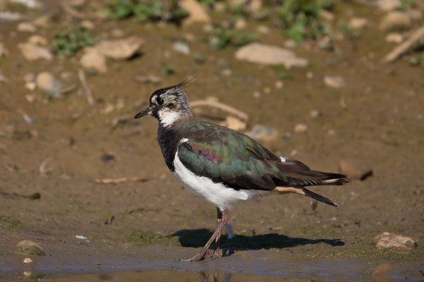 Kiebitz (Vanellus vanellus) - 8