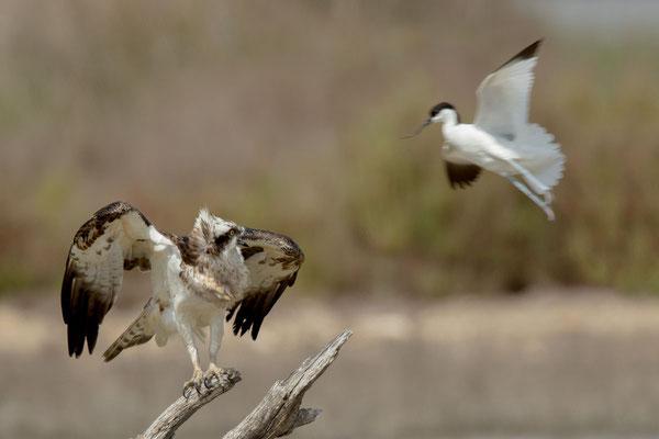 Fischadler (Pandion haliaetus) - 2