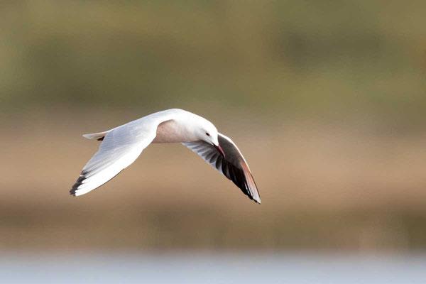 Dünnschnabelmöwe, Slender-billed gull, Chroicocephalus genei - 3