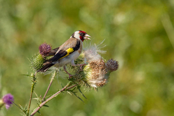 Stieglitz (Carduelis carduelis) - Goldfinch - 1