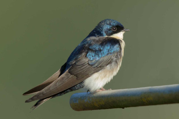 Schwarzsteißschwalbe, Notiochelidon cyanoleuca, Blue-and-white swallow - 2