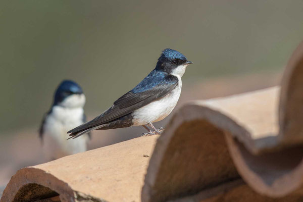 Schwarzsteißschwalbe, Notiochelidon cyanoleuca, Blue-and-white swallow - 5