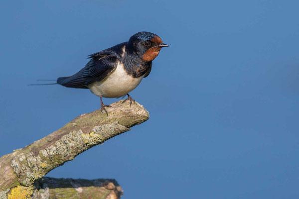 Rauchschwalbe, Hirundo rustica, Barn Swallow - 4