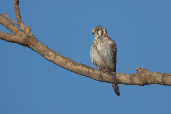 Buntfalke (Falco sparverius) - 2