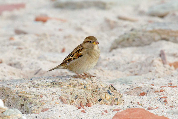 Haussperling (Passer domesticus) – House sparrow - 1