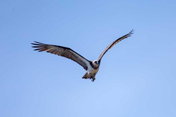 Australischer Fischadler, Eastern Osprey, Pandion cristatus - 2