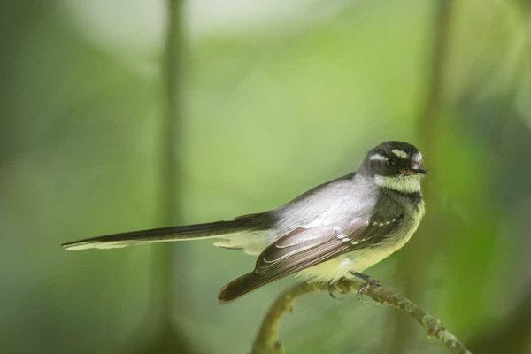 Graufächerschwanz, Grey fantail, Rhipidura albiscapa - 3