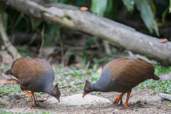 Reinwardthuhn (Megapodius reinwardt castanonotus ) - Orange-footed scrubfowl - 2