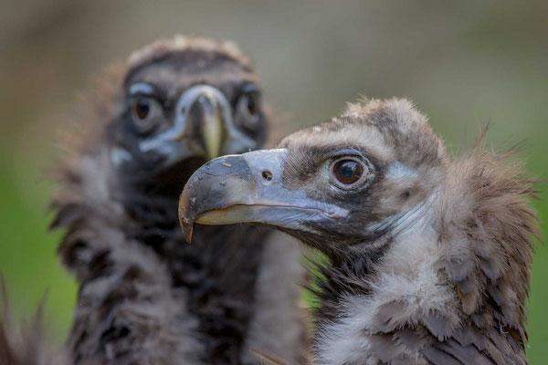 Mönchsgeier (Aegypius monachus) - Cinereous vulture - 3