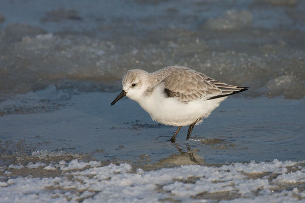 Sanderling (Calidris alba) - 5