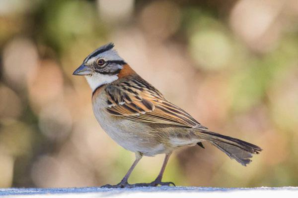 Morgenammer (Zonotrichia capensis) - Rufous-collared sparrow - 3