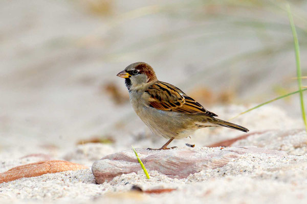 Haussperling (Passer domesticus) – House sparrow - 2