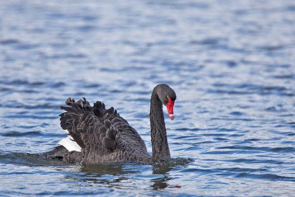 Trauerschwan (Cygnus atratus) - Black swan - 13