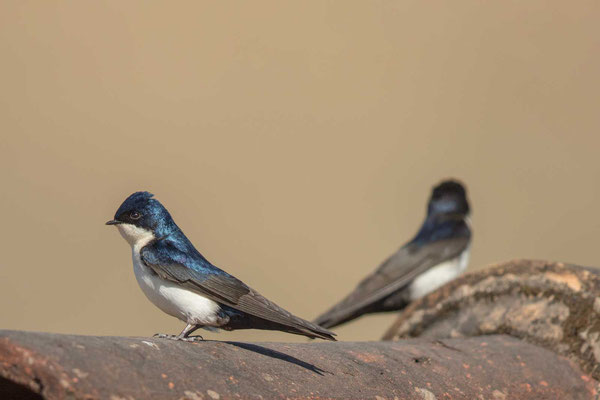 Schwarzsteißschwalbe, Notiochelidon cyanoleuca, Blue-and-white swallow - 3