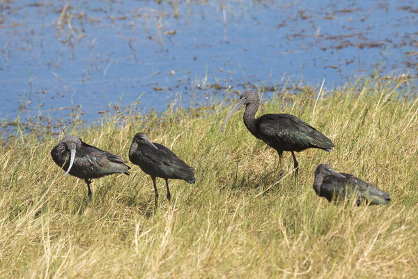 Brauner Sichler (Plegadis falcinellus) - Glossy ibis - 1