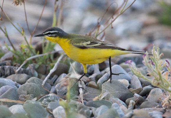 Schafstelze Typ dombrowskii  Western Yellow Wagtail; Motacilla flava 'dombrowskii' - 6