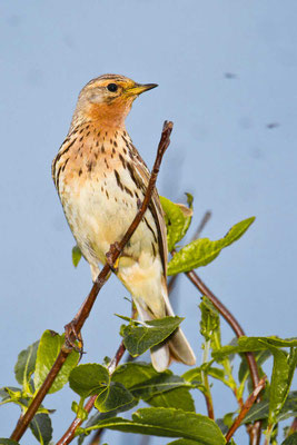 Rotkehlpieper (Anthus cervinus) - Red-throated Pipit - 6