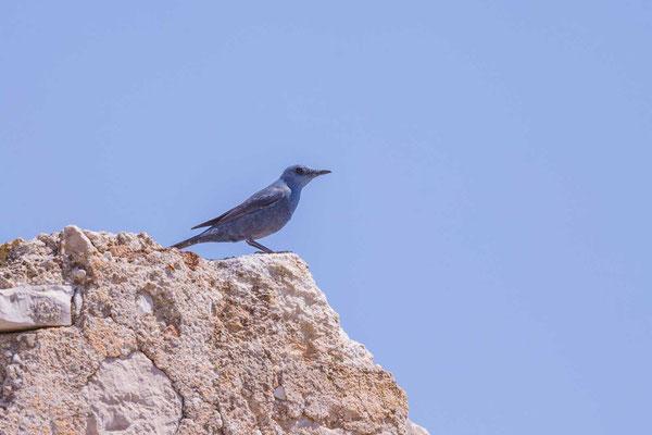 Blaumerle (Monticola solitarius) - 2