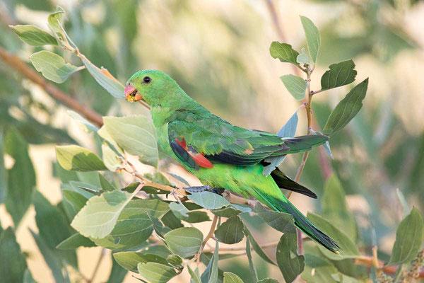 Rotflügelsittich, Red-winged parrot, Aprosmictus erythropterus - 4
