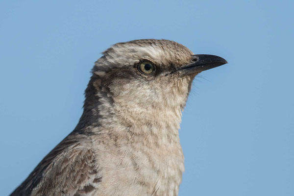 Camposspottdrossel (Mimus saturninus) - Chalk-browed Mockingbird - 1