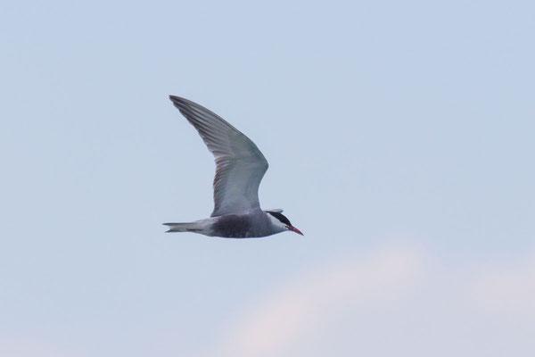 Weißbart-Seeschwalbe (Chlidonias hybrida) - 1